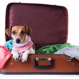 Dog laying inside of a suitcase